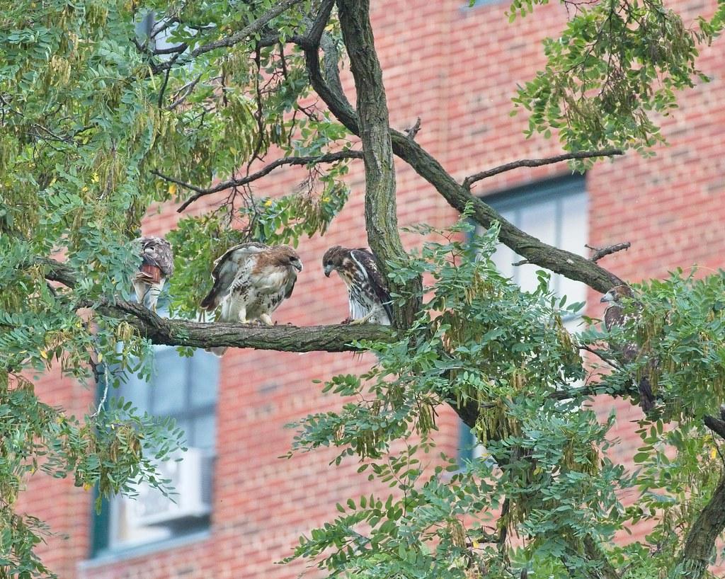 Tompkins hawk family