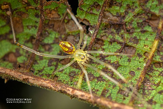 Mirror spider (Thwaitesia sp.) - DSC_6851
