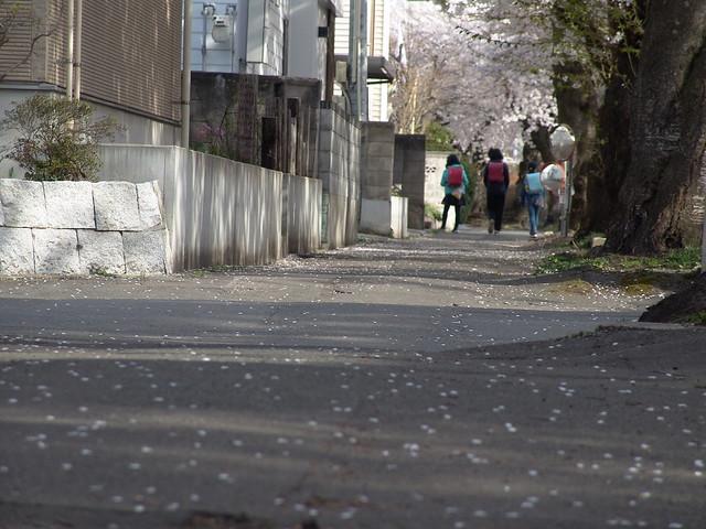 Sakura@Sakuragawa 2018