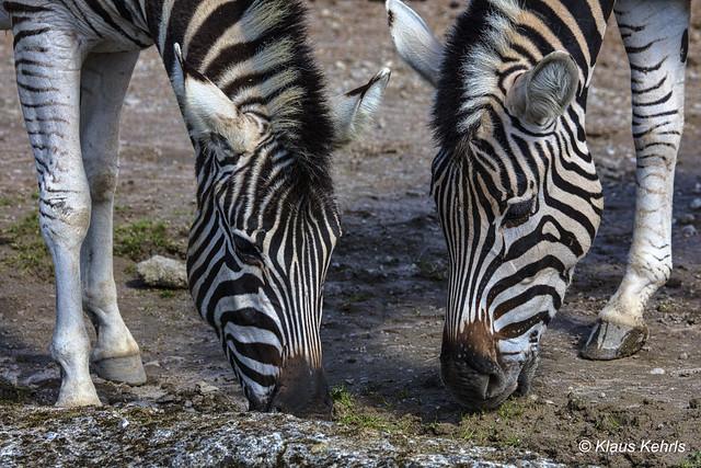 Zebras - 17041801