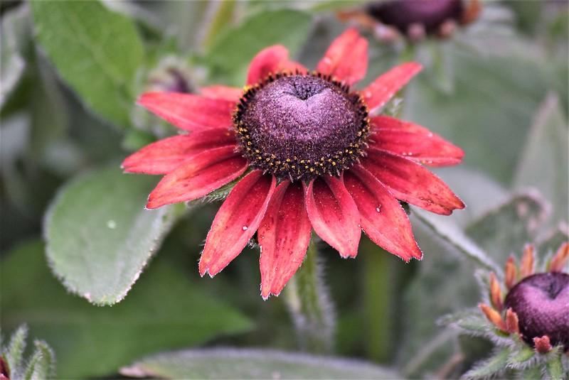 Echinacea 10.07 (2)