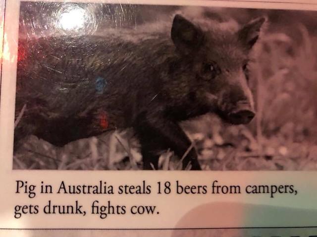 Pig in Australia