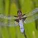 Broad bodied chaser by Bristol Boy 1