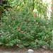Salvia microphylla 'Hot Lips' in the garden