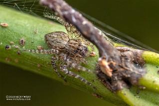 Nursery web spider (Pisauridae) - DSC_6526