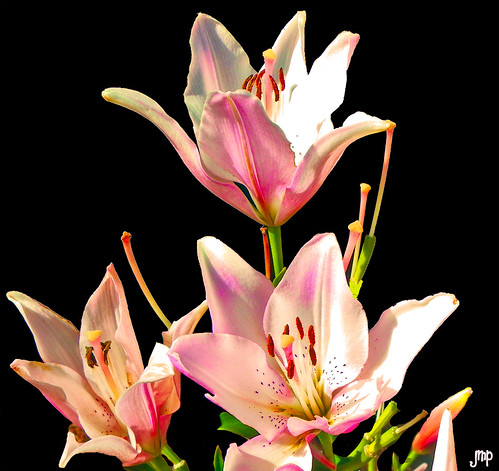 Couplet Hybrid Lillies