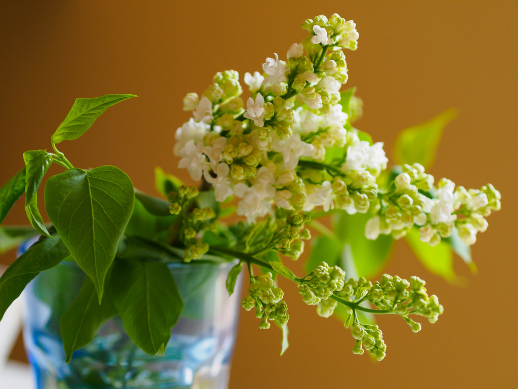 White lilac stems