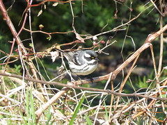 Black-throated Gray Warbler/ Rural Holmes County, Ohio/ 4-20-2018
