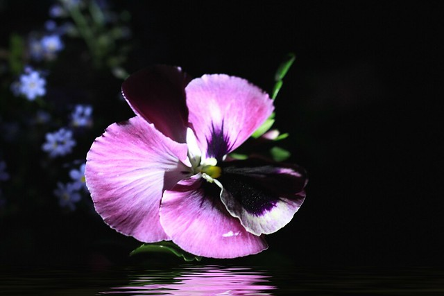 Whispering  Pansy