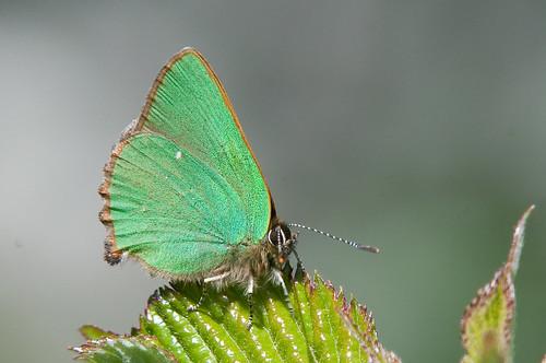 Green Hairstreak-52