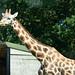 Not so evil Giraffe