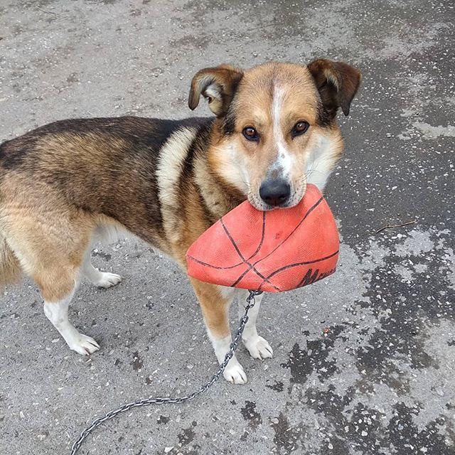 """Сторожевой пёс Шастик™ вышел мне навстречу, чтобы похвастаться новым, красивым мячиком. Ну и поиграть тоже. Но вынес с таким видом, что прям читалось: """"Смотри, какая у меня игрушка!"""" :-) Он и косточками хвастаться, выносит, показывает мне :-)"""