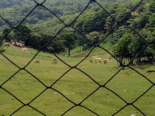蓬莱山 琵琶湖バレイ 網外の鹿