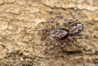 Jumping spider (Salticidae) - DSC_4269
