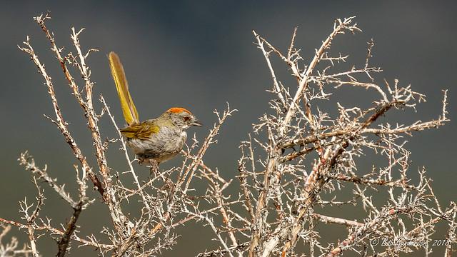 Greeen-tailed Towhee
