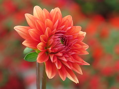 Tropical Thurs-dahlia ... 😎😎😎