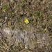 Common rock rose - Helianthemum nummularium