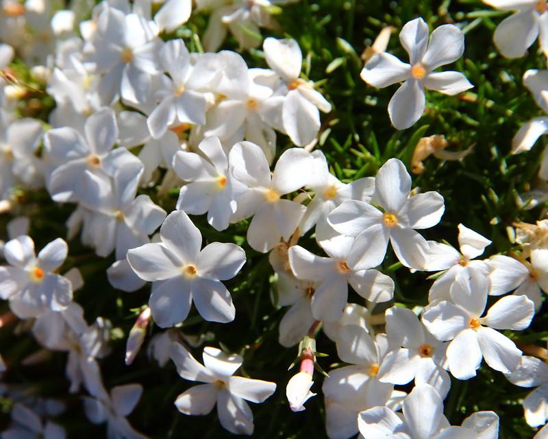 IMG_0588 Manyflowered Phlox (Phlox multiflora)