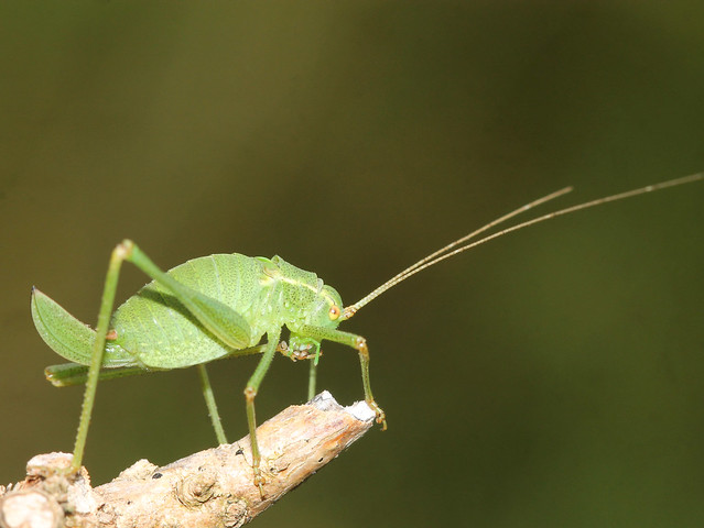 Leptophyes punctatissima (Speckled bush-cricket)