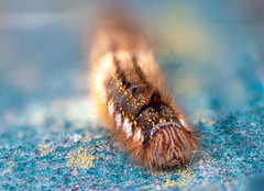 Euthrix potatoria, Drinker Moth Caterpillar