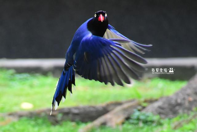 20180429 藍鵲 (114), Nikon D5500, IX-Nikkor 60-180mm f/4-5.6