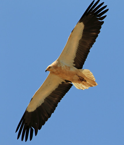 Alimoche / Egyptian vulture