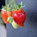 strawberries by karenandbrademerson