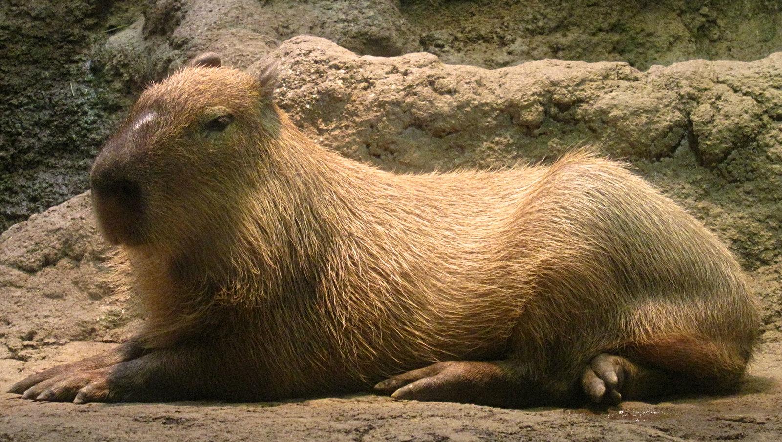 capybara001