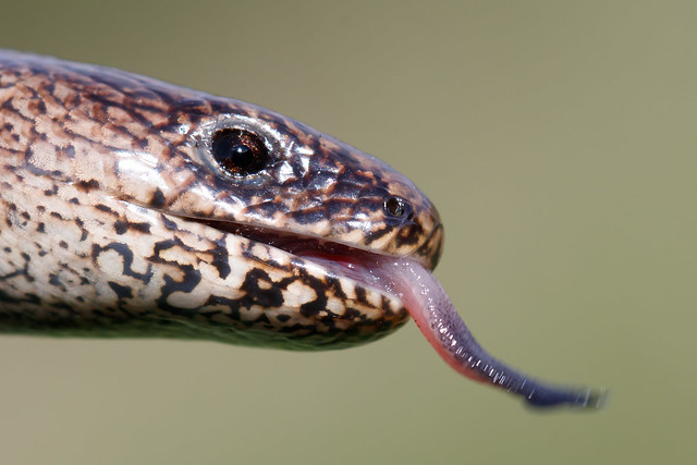 Slow worm (Catcott Heath)
