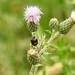 Harlequin ladybird on Creeping Thistle at Chesworth Farm, Horsham