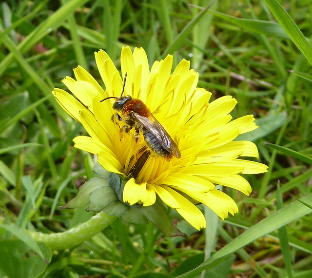 Orange-tailed mining bee (A. haemorrhoa)