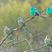 Mulga Parrots by aaardvaark
