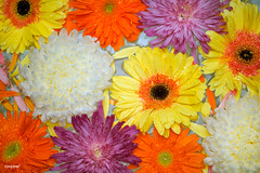 Closeup of colorful flowers floating on water background