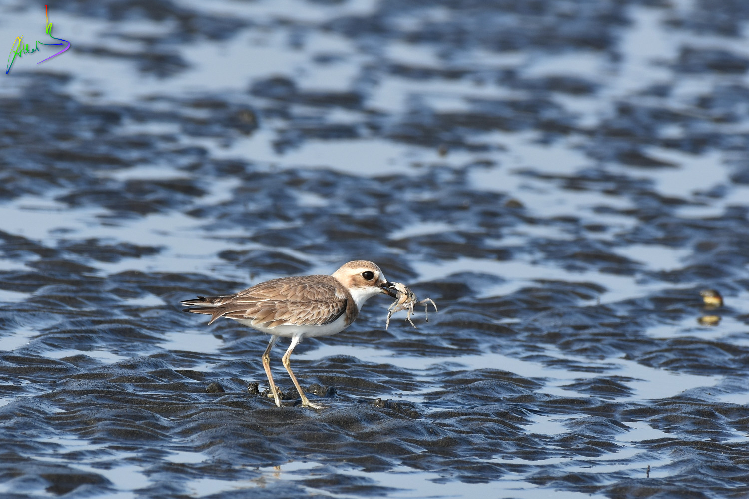 Greater_sand_plover_1069