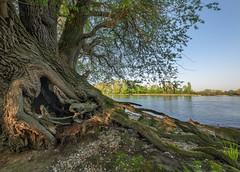 alte Weide am Rheinufer