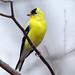 American Goldfinch by mnolen2