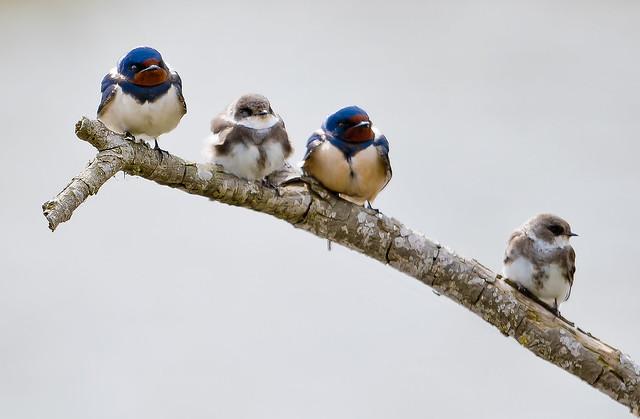 Orenetes variades / Kinds of swallows