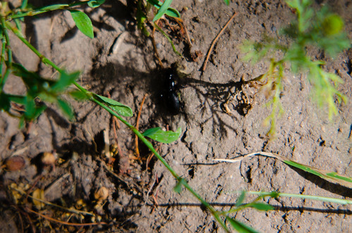 Stag beetle scurrying for cover