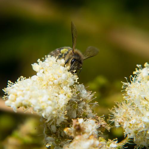 Bee, meadowsweet flowers