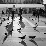 Pigeons du soir
