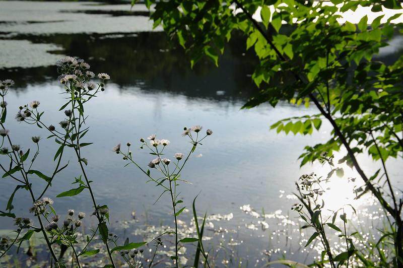 水辺に咲くヒメジオン_201806_NO1