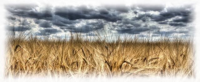 Wheat [Explore], Nikon 1 J5, 1 NIKKOR VR 10-30mm f/3.5-5.6 PD-ZOOM