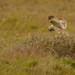 Short Eared Owl hunting