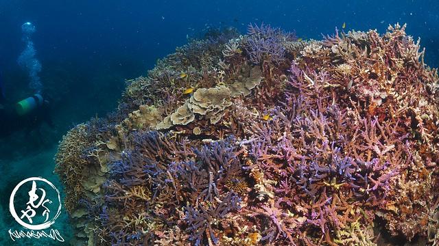 極上サンゴキレイゾーン♪ こないだの台風で枝サンゴ系が結構短くなっちゃいました。。