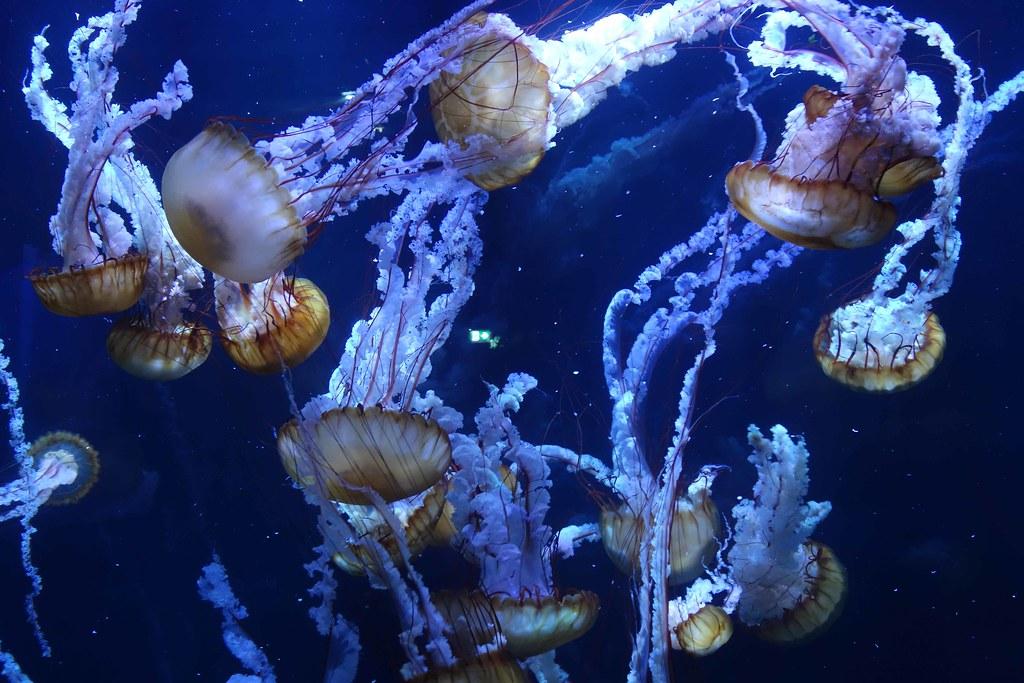 Boulogne - Nausicaa - Meduses