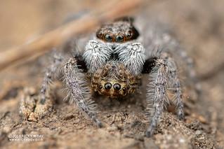 Jumping spider (Menemerus zimbabwensis) - DSC_4682