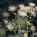 Giant Hogweed in Northampton