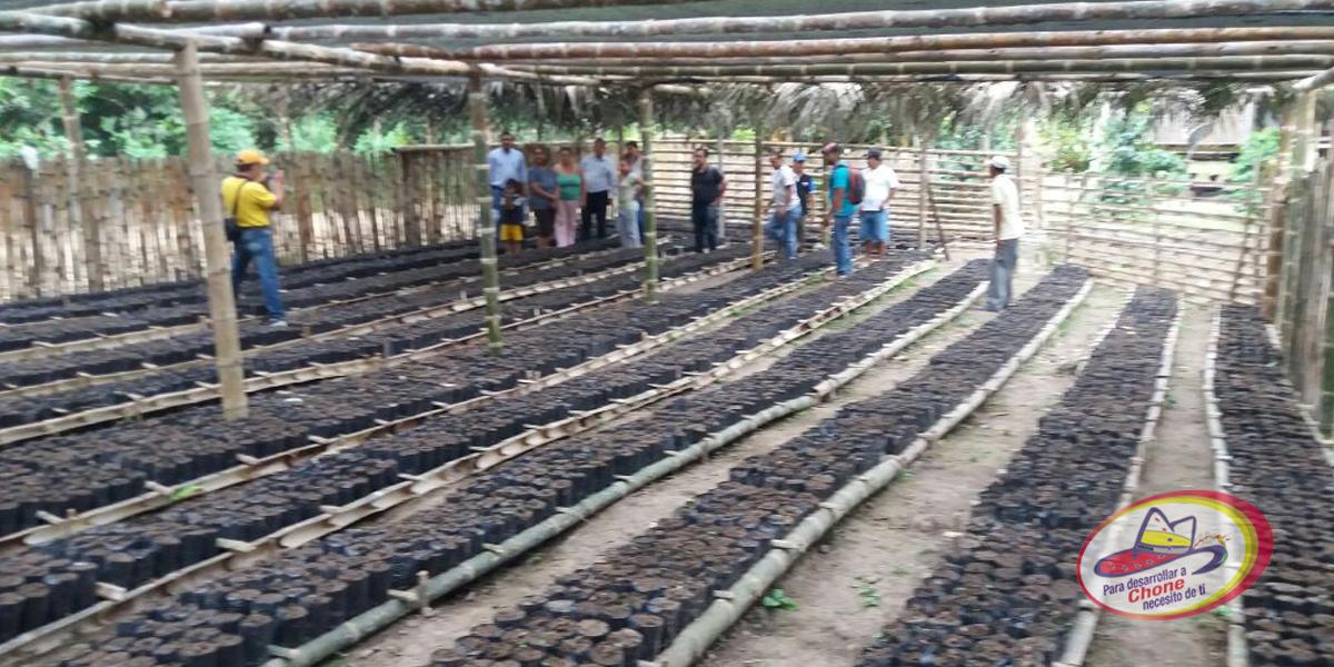 12 mil plantas de cacao fino de aroma tienen sembradas en Manta Blanca 2 de Convento
