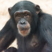 Chimp at Colchester Zoo