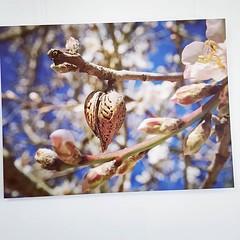 Guten Morgen & einen schönen Start in die Woche :sunglasses: jetzt als Grossdruck im Space: Rainers Mandelherzfoto :blue_heart: . . . #mandelherz #mandelblüte #mallorcagram #mallorca #rayaworx #santanyi #flowerstagram #treesofinstagram #almonds #mandeln